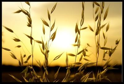 Kingdom-of-Godwheat